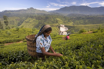 Women tea pickers, Tea Hills, Hill Country, Nuwara Eliya, Sri Lanka, Asia