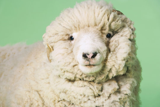 Closeup portrait of ram against green background