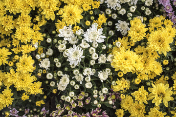 Abstract background of colorful flowers. Close-up,White,yellow Chrysanthemum flower