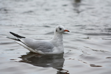 Seagull on the lake