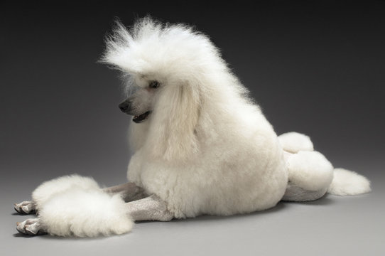 Full length of White Standard Poodle on gray background