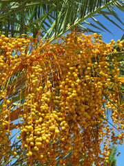 fruit of palm