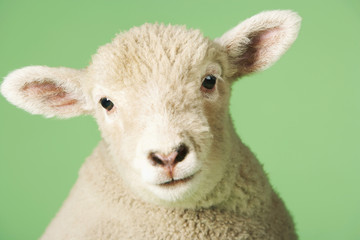 Closeup portrait of a cute lamb against green background