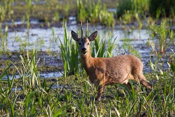 Rehbock beim fressen im Sumpf