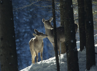 Fototapete - Red deer doe with cub