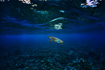 coral reef with sea turtle