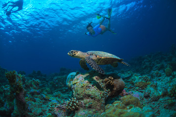 Tropical water with marine animals. Sea turtle floating underwater with snorkelers
