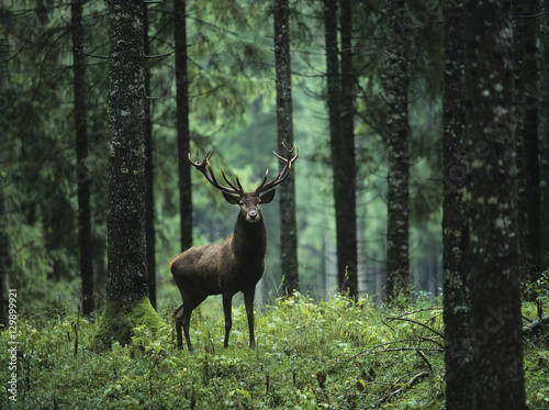 Fototapete Red deer stag in forest
