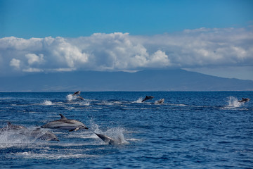 A big pod of striped dolphins (Stenella coeruleoalba) following their way in open water of Atlantic ocean near Azores islands