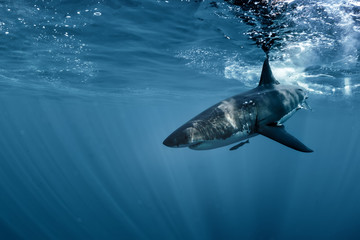 Wall Mural - Great White shark in Pacific ocean underwater side view