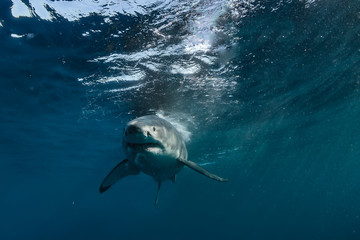 Wall Mural - Great White Shark approaching in blue ocean water