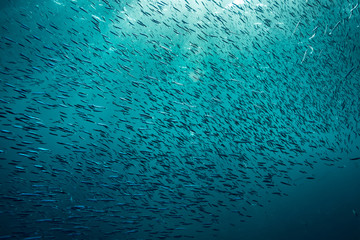 Big amount of the small fish underwater