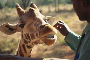 Giraffe Centre, Nairobi, Kenya, East Africa, Africa
