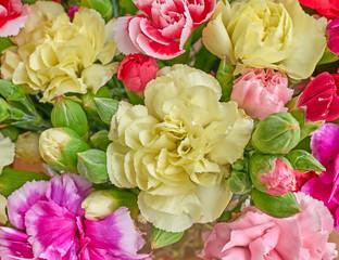 colorful carnation flowers closeup