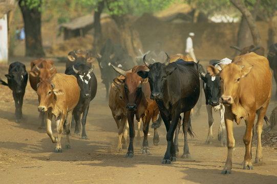 Cattle herded through village, Salima, Malawi