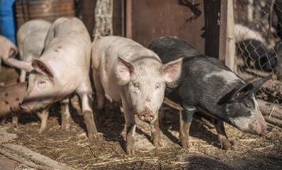 Three farm pigs on a sunny day