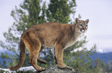 Acrylic Prints Puma Mountain Lion standing on rock