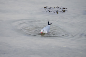 Gull diving and fishing a worm