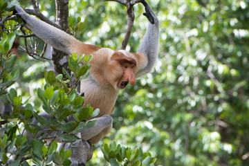 Dominant male proboscis monkey (Nasalis larvatus) on the lookout for challenges from younger males in the bachelor group, Labuk Bay Proboscis Monkey Sanctuary, Sabah, Borneo, Malaysia