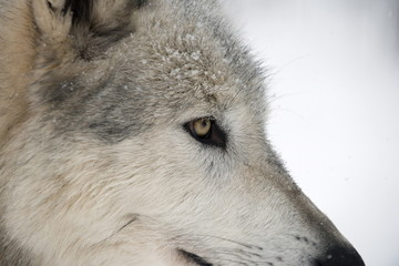 Close-up of face and snout of a North American Timber wolf (Canis lupus) in forest, Austria