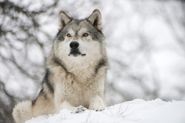 North American timber wolf (Canis lupus) in forest, Wolf Science Centre, Ernstbrunn, Austria