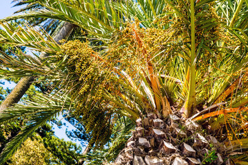 Phoenix dactylifera date palm tree unripe growing fruit detail closeup
