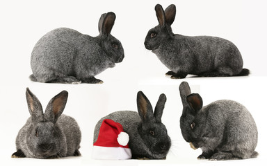 collage of grey rabbit on a white background