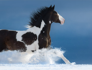 Fototapete - American Paint horse run gallop in winter