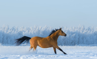 Wall Mural - Chestnut horse running across snowy field.