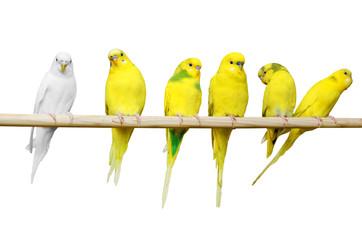 Parrots sit on a wooden stick