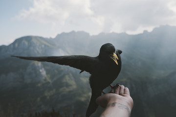 Black Bird eating food out of the hand of a person with mountains and blue sky with lightrays in the background
