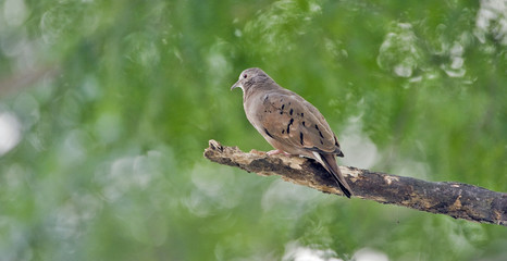 Ruddy ground dove under the shade of the leafy tree
