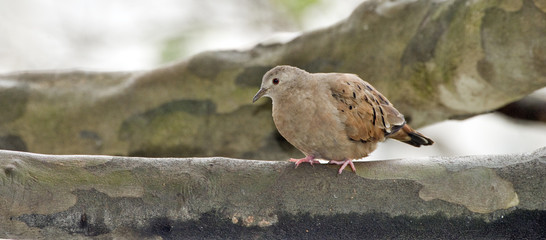 Ruddy ground dove on the thick branch of the tree