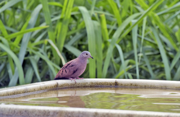 Ruddy ground dove drinking water from the fountain