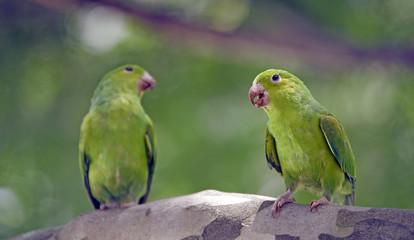 Plain parakeet under the shade of the leafy tree