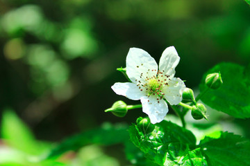 white wild raspberry flower in the forest