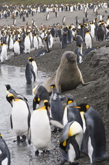 Fur seal and king penguins, St. Andrews Bay, South Georgia, South Atlantic