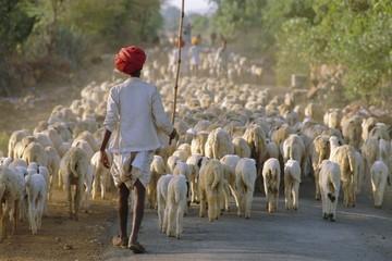 Shepherd and flock of sheep, Rajasthan, India