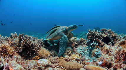 Green Sea turtle with two Sharksuckers on a colorful coral reef.