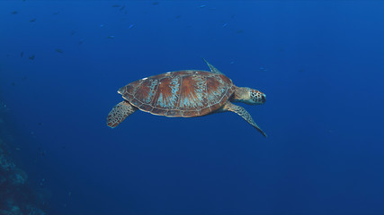 Green Sea turtle swims in blue water.