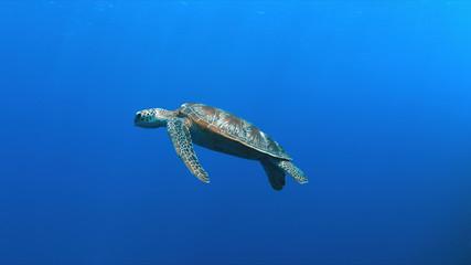 Green Sea turtle swims in blue water.