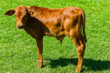 Cattle Animal Calf newborn closeup