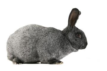 grey rabbit on a white background