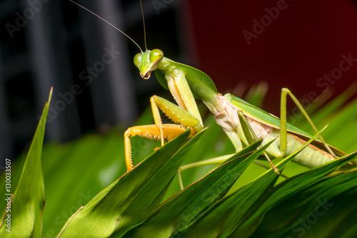 Giant malaysian shield mantis