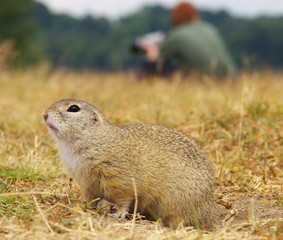Ground Squirrel with Photographer on Background