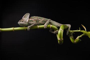 Türaufkleber Chamaleon Kameleon