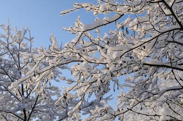 Snowy alder branch