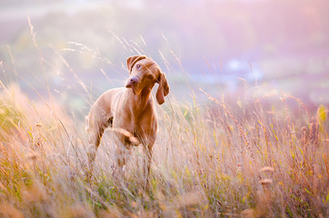 Hungarian hound dog in the middle of the field during sunset