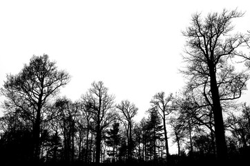 Leafless bare trees isolated on white sky
