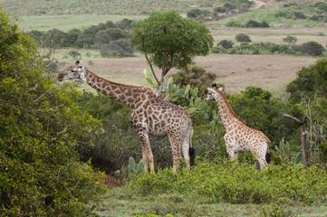 Giraffe (Giraffa camelopardalis), Kariega Game Reserve, South Africa, Africa